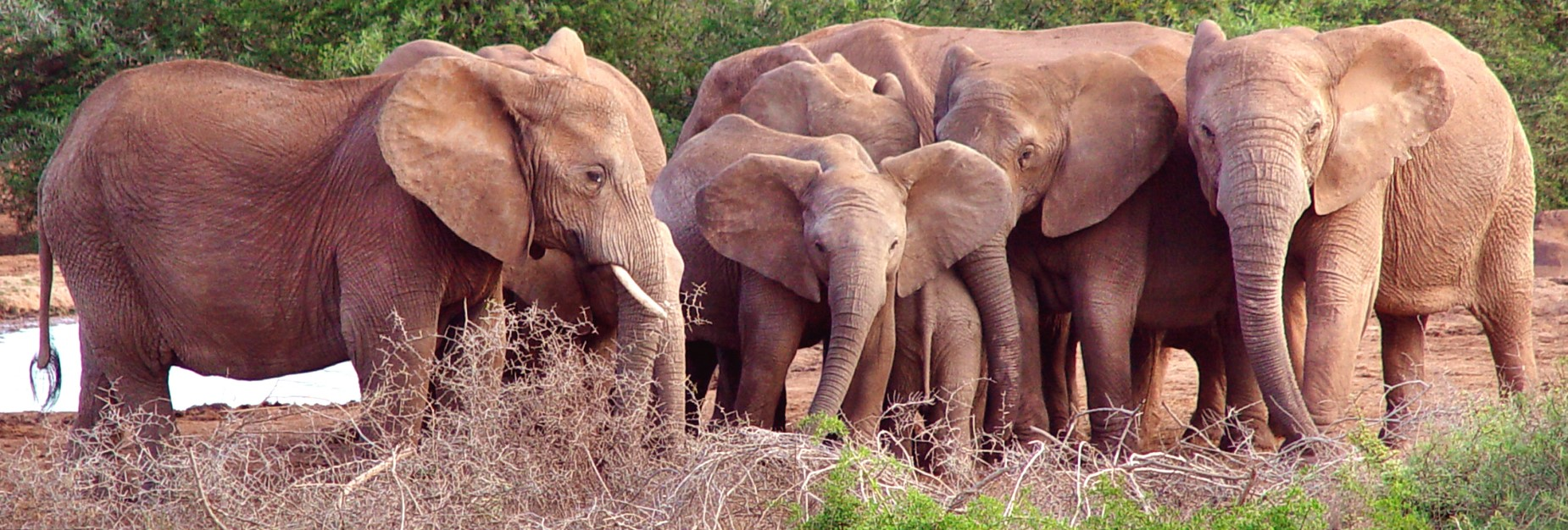 Addo Elephant group