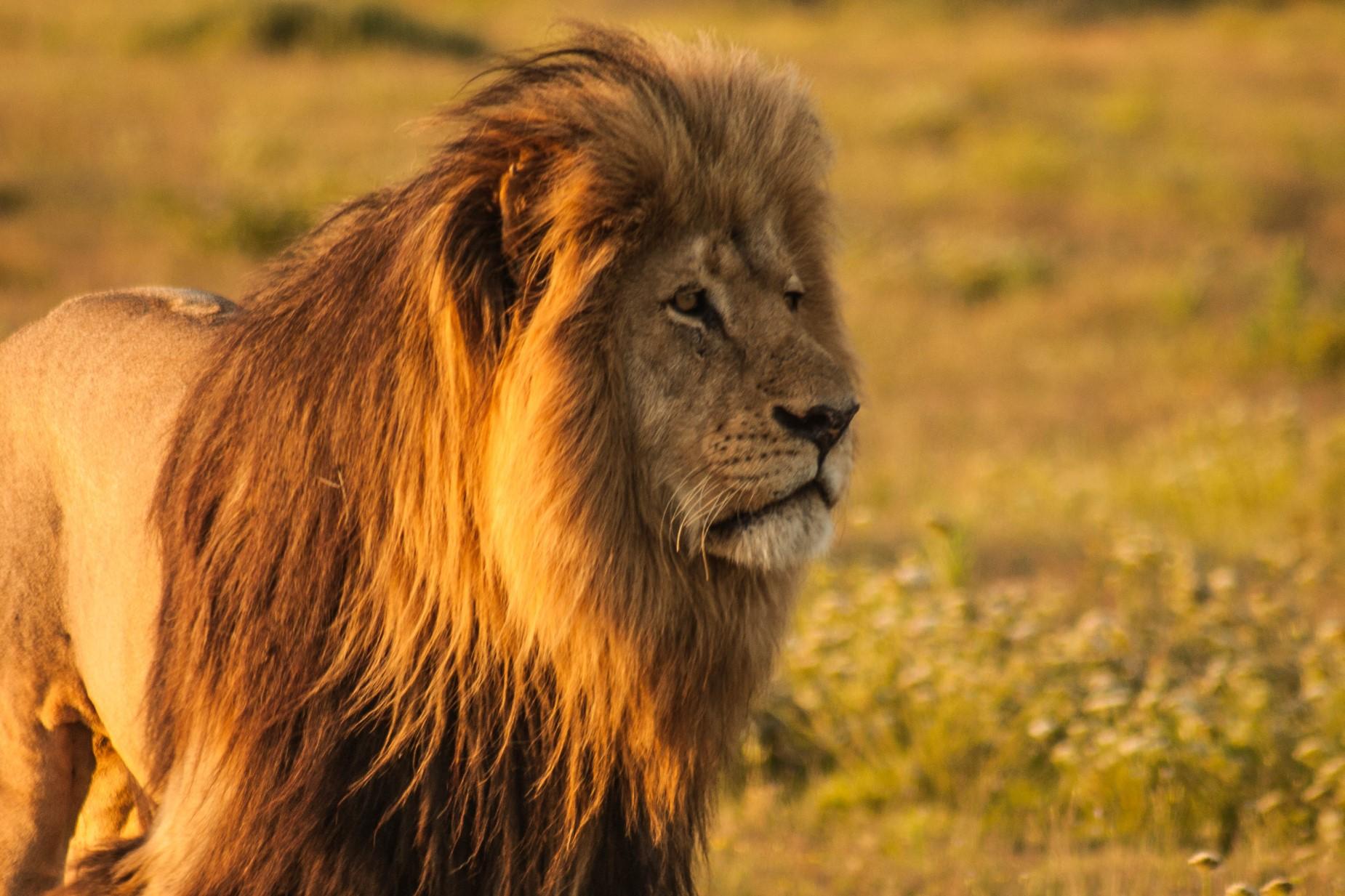 Addo Park Lion