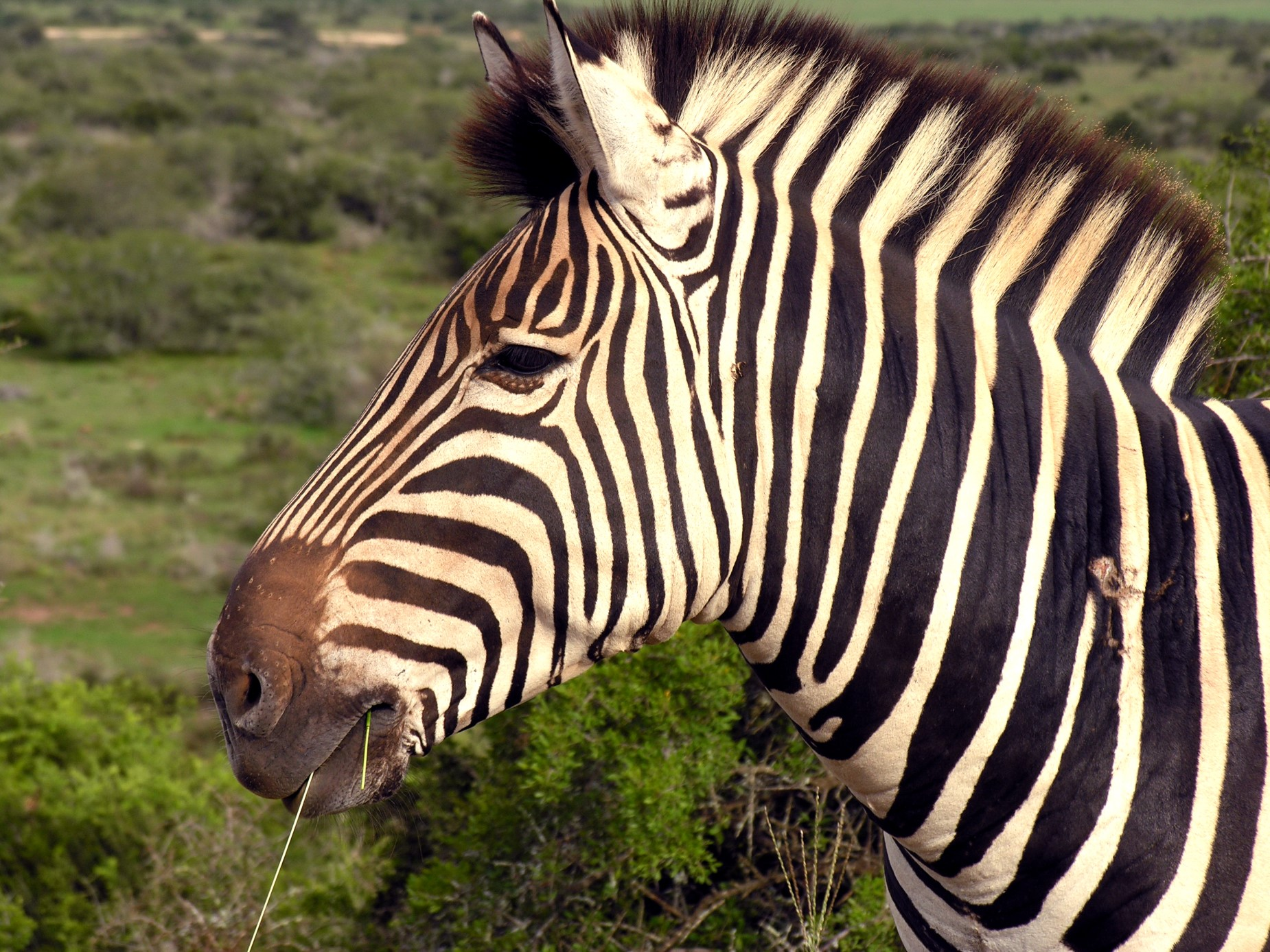 Addo Park Zebra