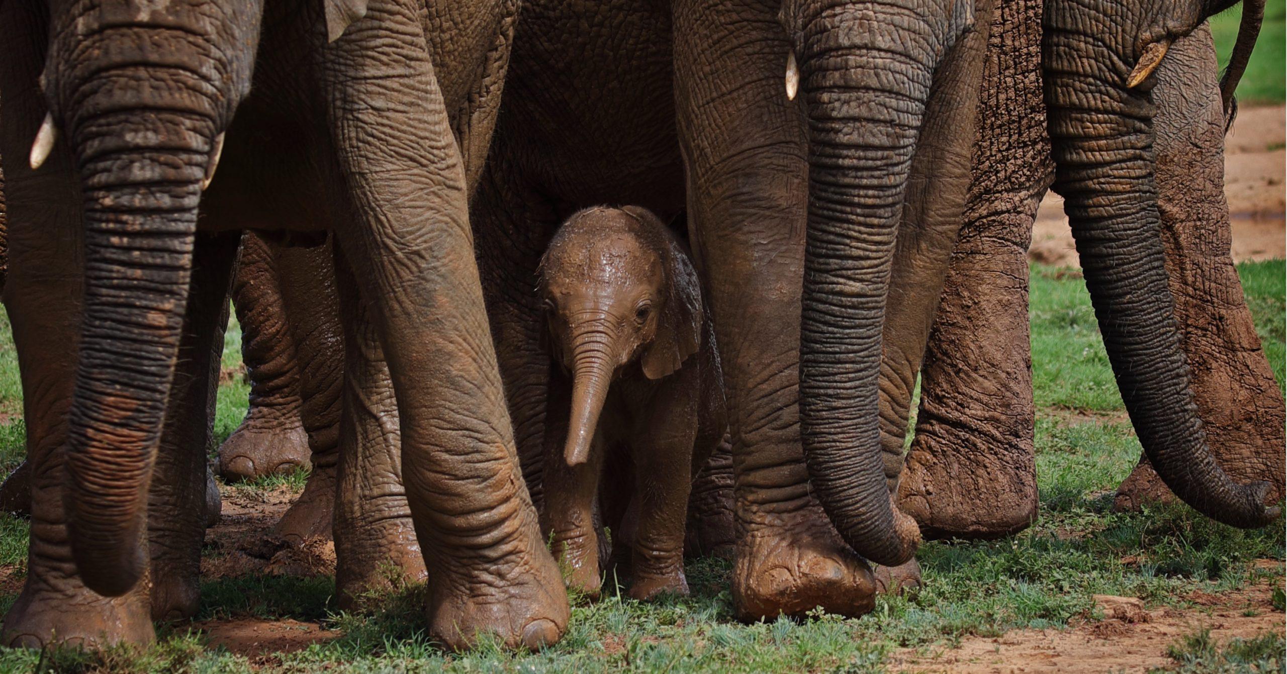RB-Elephant-group-02