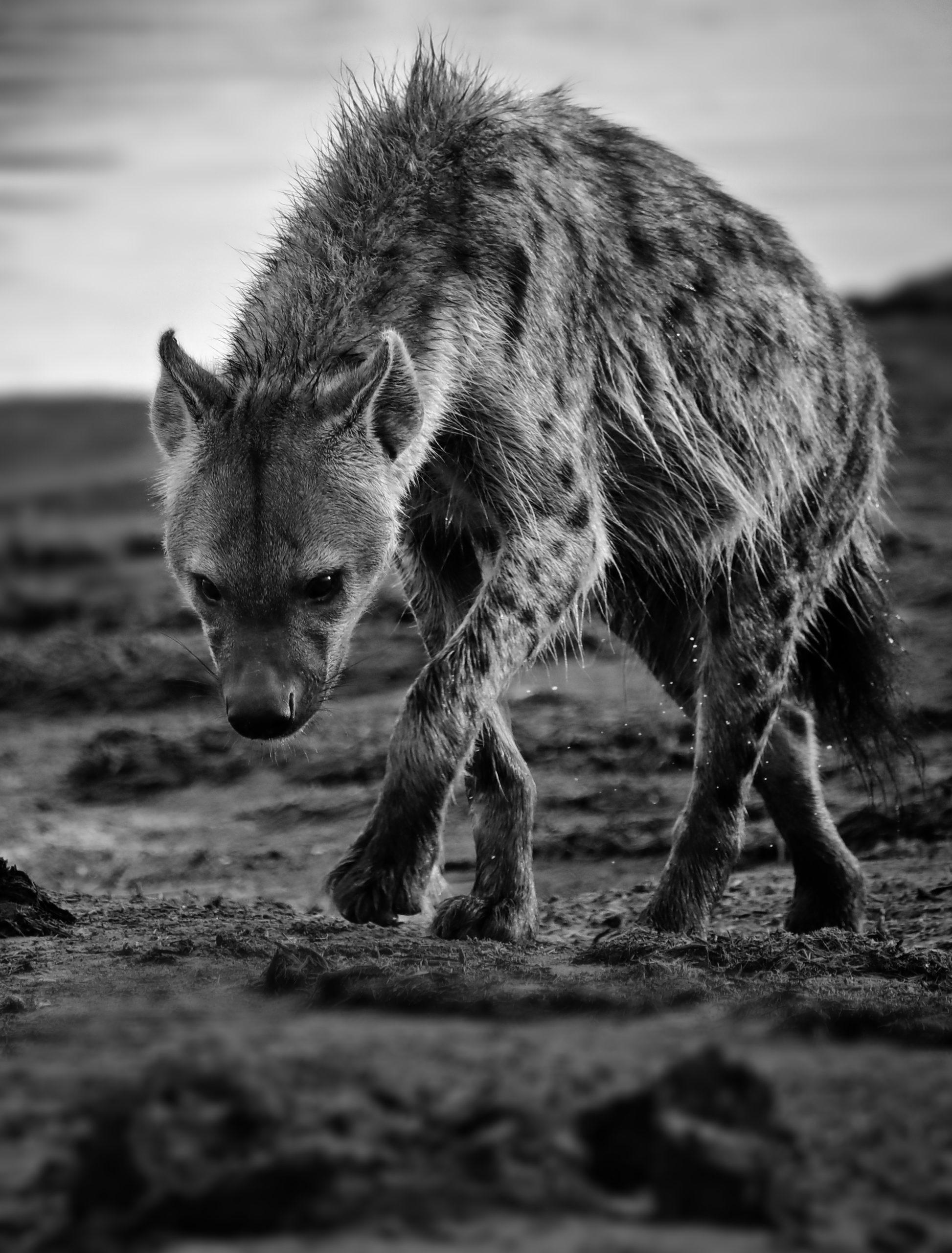 RB-hyena-02