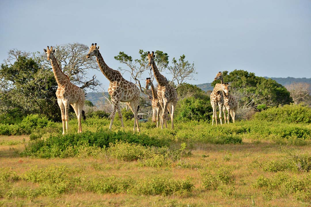 SGR - Giraffe (5)