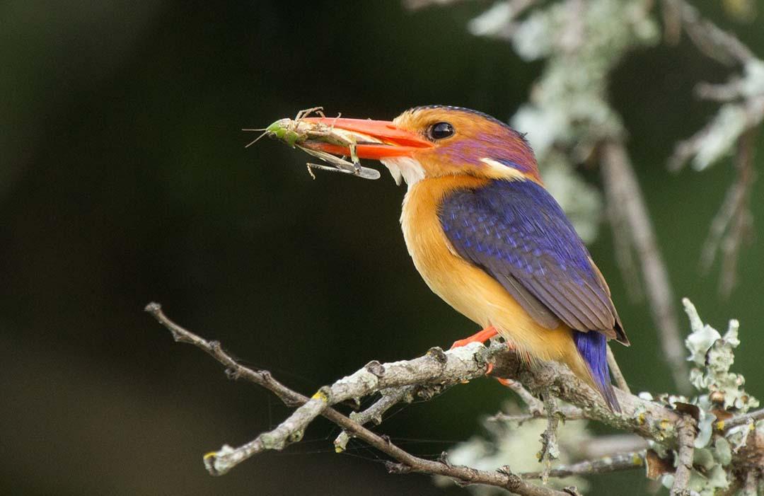 SGR - Pygmy Kingfisher