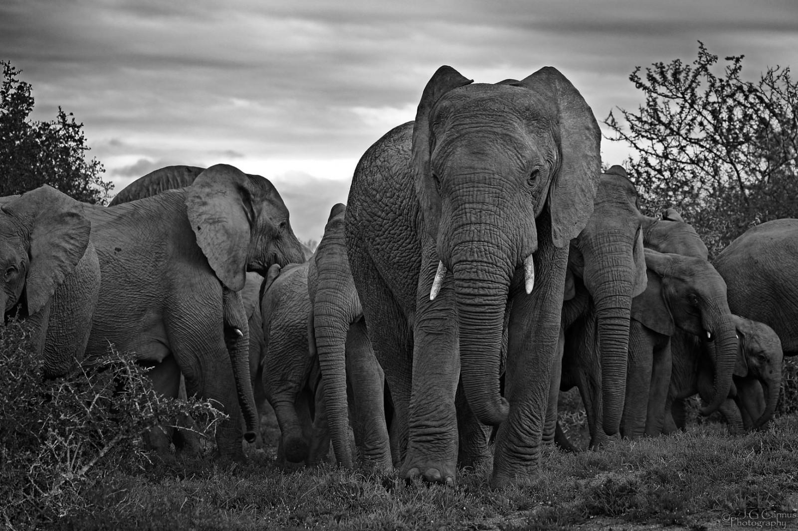 elephant_med