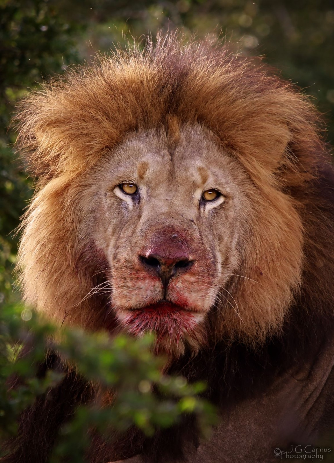 lion_med