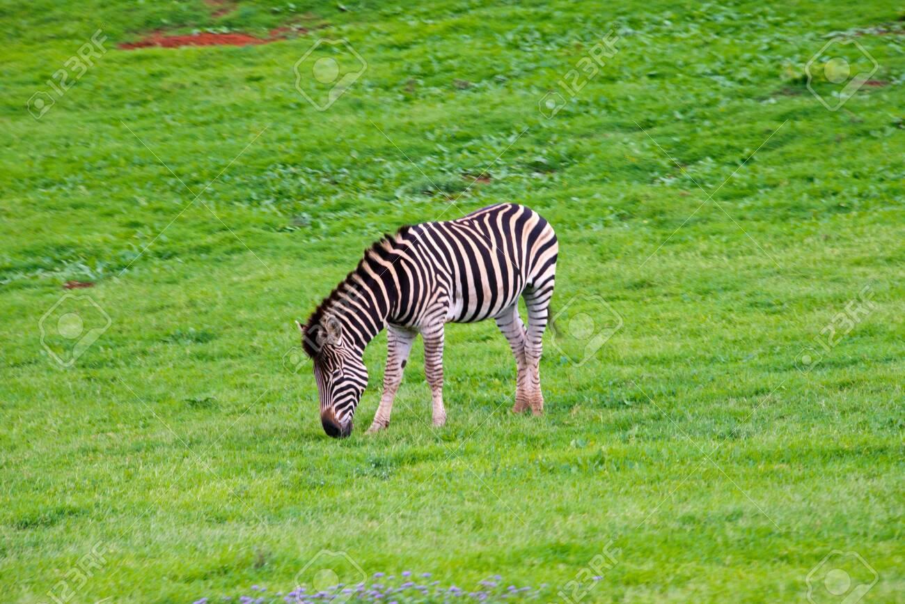 zebra in schotia private game reserve near addo national park, south africa