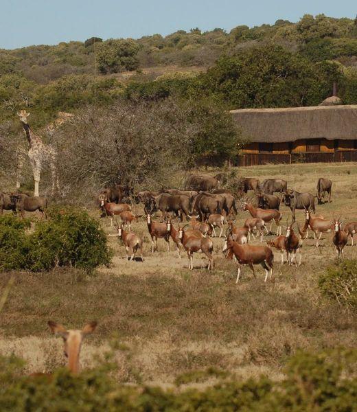 abundant_herds_at_lapa_at_schotia_safaris
