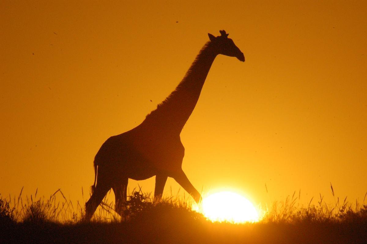 schotia-giraffe-2