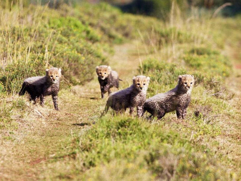 Amakhala_Game_Lodge_Leeuwenbosch_Country_House_Cheetah_Cubs_Regular