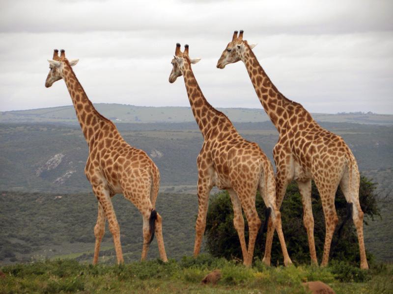 Amakhala_Game_Lodge_Leeuwenbosch_Country_House_Giraffe_Regular