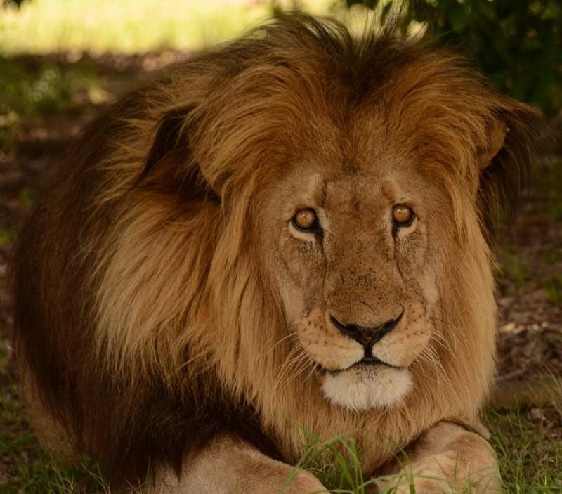 m_lion
